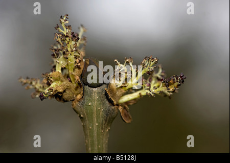 Ash Fraxinus excelsior buds break to reveal the flowers open before leaves - Stock Photo