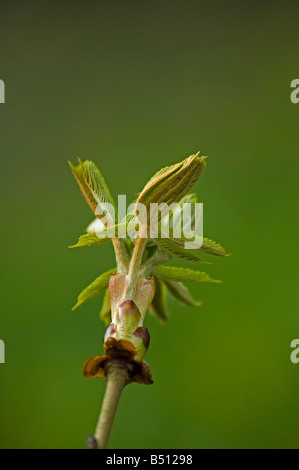 Sticky bud of horse chestnut Aesculus hippocastanum opening with folded leaves unfurling - Stock Photo