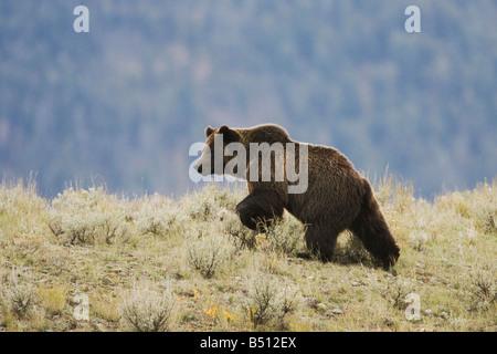 Grizzly Bear Ursus arctos horribilis adult Yellowstone National Park Wyoming USA