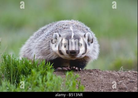American Badger Taxidea taxus young at den Rocky Mountain National Park Colorado USA - Stock Photo