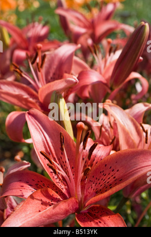 Pink lilies in full bloom. - Stock Photo