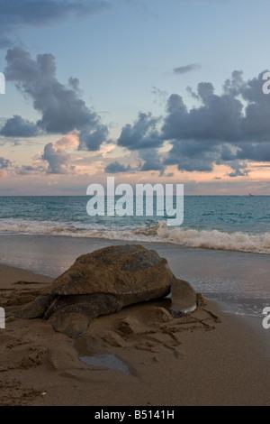An adult leatherback sea turtle nests along a florida beach and crawls toward the atlantic ocean - Stock Photo