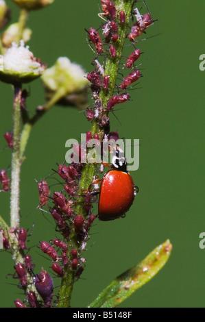 Ladybug Beetle Coccinellidae adult eating Aphids Aphidoidea Sinton Corpus Christi Coastal Bend Texas USA - Stock Photo