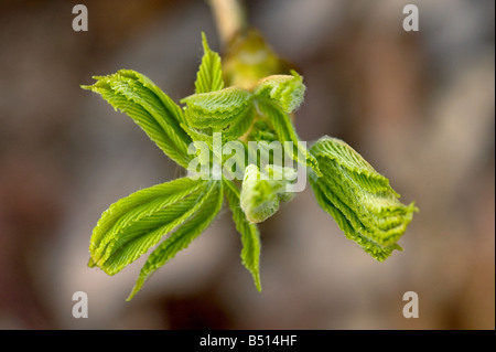 Sticky bud of horse chestnut Aesculus hippocastanum opening viewed from above showing folded leaves unfurling - Stock Photo