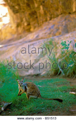 Black-footed Rock-wallaby, a small kangaroo at Simpsons Gap in the West MacDonnell National Park, Australia Northern - Stock Photo