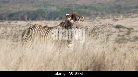 A (highly endangered) Grevy's Zebra (Equus grevyi); in Lewa Downs, Kenya. - Stock Photo