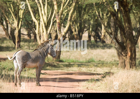 A (highly endangered) Grevy's Zebra corssing a dirt track in a forest/swamp; in Lewa Downs, Kenya. - Stock Photo