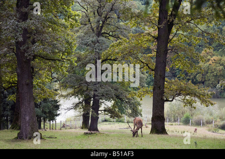 Moldavia Romania Europe September Vanatori Neamt 'National Park' with Red Deer in natural country habitat - Stock Photo