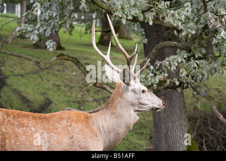 Moldavia Romania Europe September Vanatori Neamt 'National Park' with Red Deer stag Cervus elaphus in natural country - Stock Photo