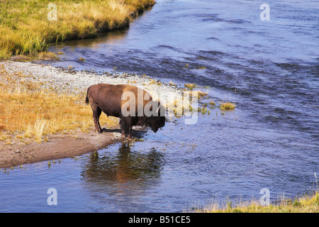 The bison drinks water in well known Yellowstone national park - Stock Photo