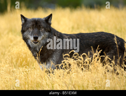 Grey Wolf, canis lupus - Stock Photo