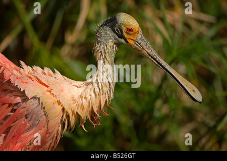 A Roseate Spoonbill, Ajaia ajaja, looking frumpy after wetting feathers in the marsh. - Stock Photo