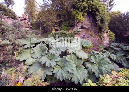 Giant Rhubarb Gunnera tinctoria plant