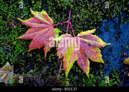 Vine maple leaves in autumn near Clear Lake in the Oregon Cascades - Stock Photo