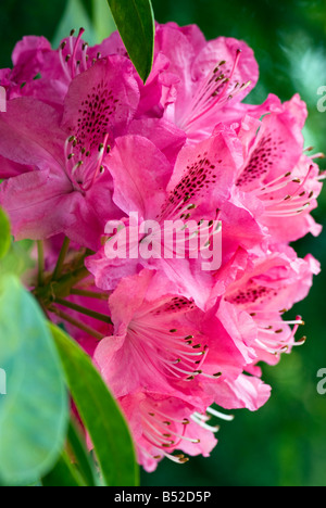 A fuchsia pink azalea in full bloom in Spring with stamens facing upwards - Stock Photo