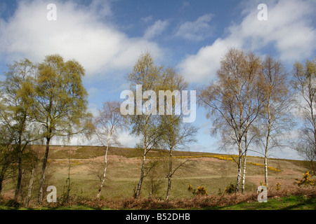 Silver Birch trees Betula pendula on edge of moor Yarner Wood Dartmoor Devon England UK - Stock Photo
