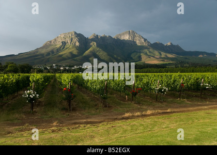 Vineyards and Hottentots Holland Mountains in Stellenbosch, Western Cape, South Africa - Stock Photo