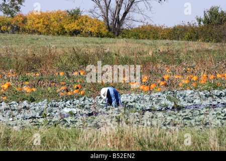 A migrant worker picking cabage during fall harvest time in Wisconsin - Stock Photo