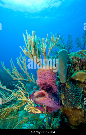Coral Reef Scene With Purple Vase Sponges And Fire Coral Stock Photo