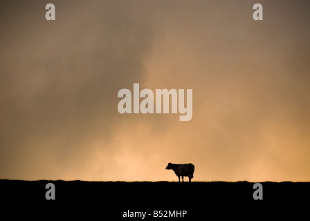 Cow silhouetted - Stock Photo