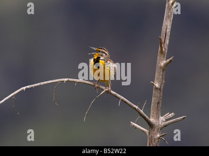 Western Meadowlark Sturnella neglecta singing perched on a dead tree branch on open schrubland in Yellowstone Park - Stock Photo