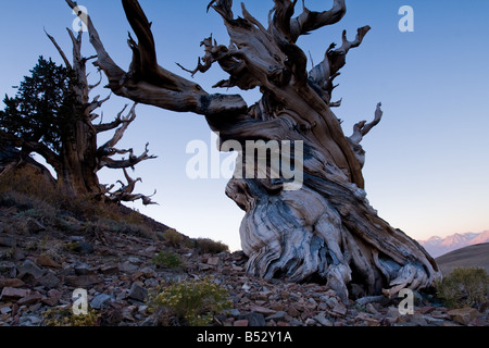 Sunrise, Bristlecone Pine Forest in the White Mountains - Stock Photo