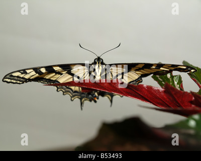 A Western Tiger Swallowtail Butterfly rests on a leaf wings spread facing forward - Stock Photo