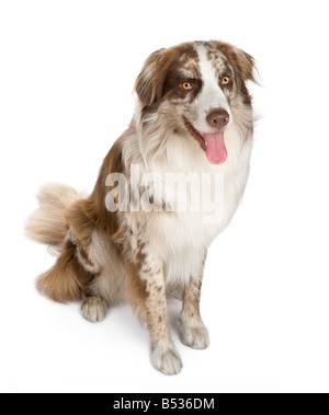 Australian shepherd 11 months in front of a white background - Stock Photo