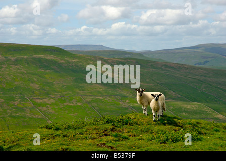 Two lambs on Cam Fell, with Wild Boar Fell in the distance, Yorkshire Dales National Park, North Yorkshire, England - Stock Photo