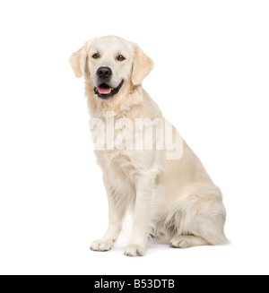 Golden Retriever 2 years in front of a white background - Stock Photo