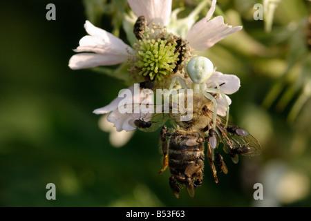 Crab Spider (Misumena vatia) caught a honeybee (Apis mellifera). The animal is pestered by parasitic flies. - Stock Photo