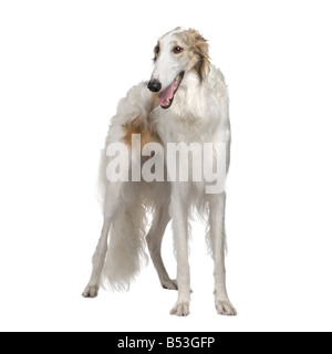 Borzoi Russian Wolfhound 15 months in front of a white background - Stock Photo
