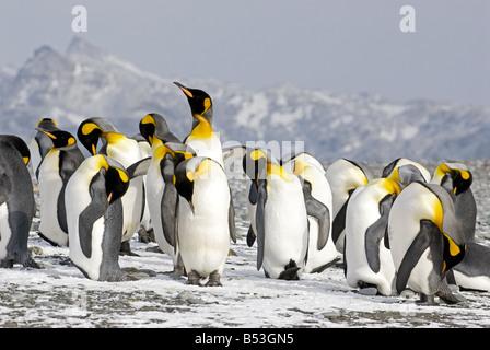 king penguins - colony / Aptenodytes patagonicus - Stock Photo