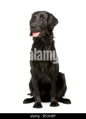 Black Labrador retriever 17 months in front of white a background - Stock Photo