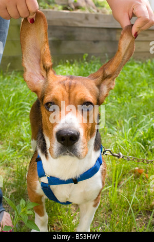 A girl holds up her dogs long floppy ears - Stock Photo