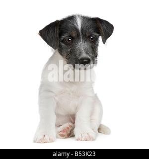 puppy Jack russell 11 weeks in front of a white background - Stock Photo