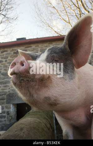 Gloucestershire Old Spot Pig looking out over its stye - Stock Photo