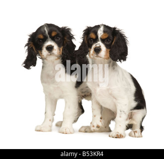 Cavalier King Charles Spaniel puppies 3 months in front of a white background - Stock Photo