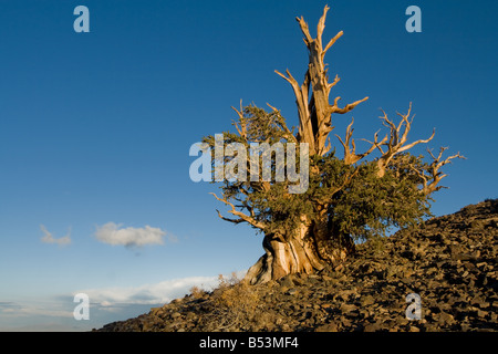 Late afternoon light, Bristlecone Pine Forest in the White Mountains - Stock Photo