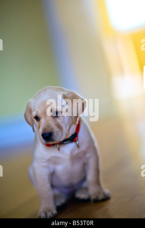 Yellow Labrador Retriever puppy, at 7 weeks old. - Stock Photo