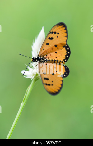 Acraea terpsicore. Tawny Coster butterfly in the indian countryside. Andhra Pradesh, India - Stock Photo