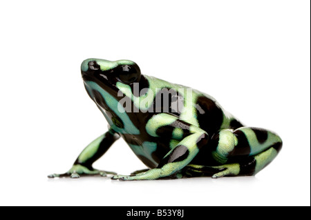 green and Black Poison Dart Frog Dendrobates auratus in front of a white background - Stock Photo