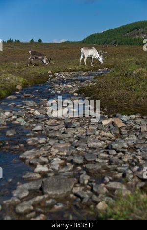 Reindeers in the tsaatan encampment Northern Mongolia - Stock Photo