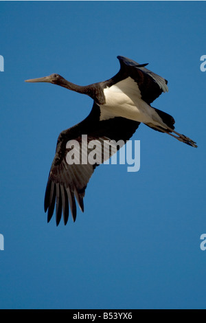 Black Stork Ciconia nigra - Stock Photo