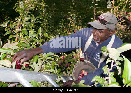 Migrant Farm Worker at Allenholm Farms in South Hero VT - Stock Photo