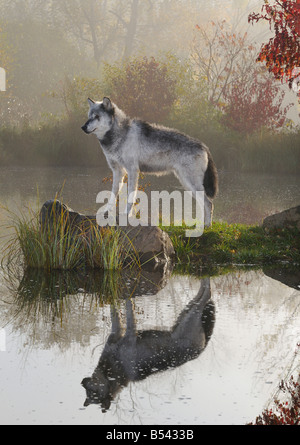 Backlit Gray Wolf standing on rock over still water with reflection at dawn with mist and Fall colors - Stock Photo