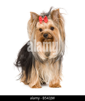 Yorkshire Terrier 15 months in front of a white background - Stock Photo
