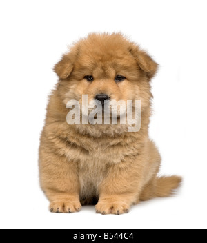 Chow chow 2 months in front of a white background - Stock Photo