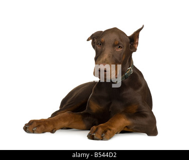 Doberman Pinscher 4 months in front of a white background - Stock Photo