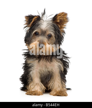 Yorkshire Terrier 3 months in front of a white background - Stock Photo